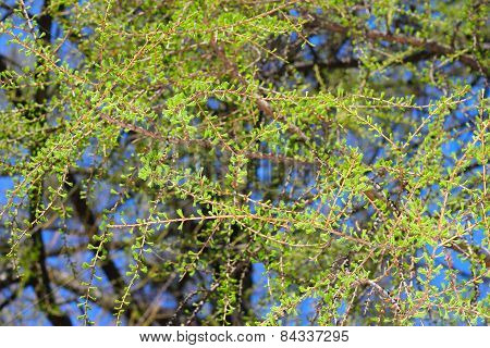 Branches Of Larch In Spting