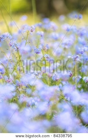 Vibrant Forget-me-not Spring Flowers With Shallow Depth Of Field