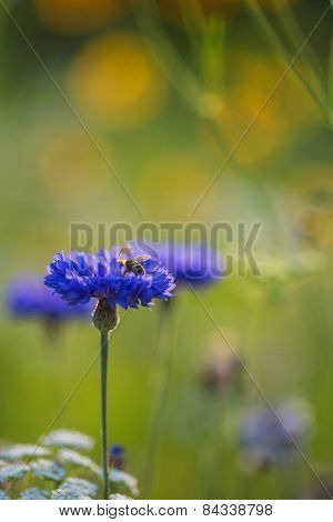 Cornflower In Summer Being Pollenated By Bumble Bee