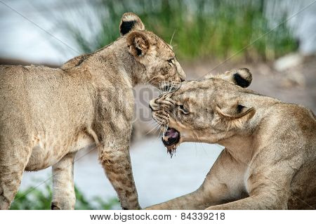 Lioness playing with her lion cub in a National Park