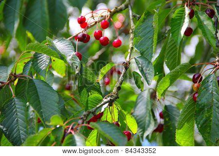 Wild Ripe Cherry On Tree