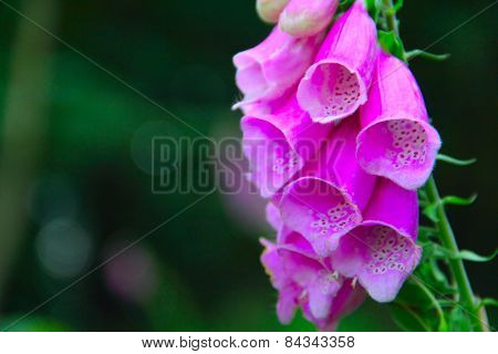 Close Up Of Foxglove Bells