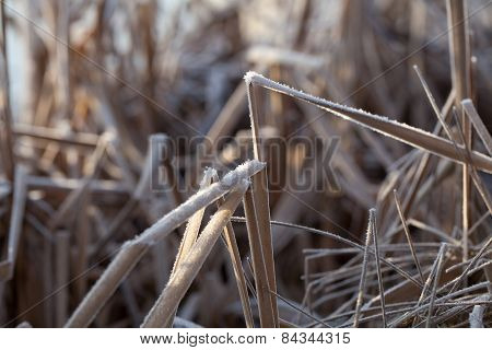 Dry Frost Covered Reeds Bent Over
