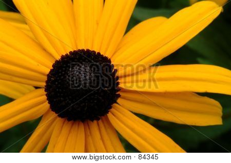 Brown Eyed Susan 2