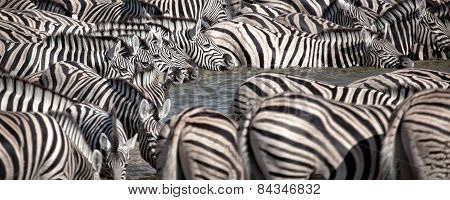 A herd of zebras drink from a water hole