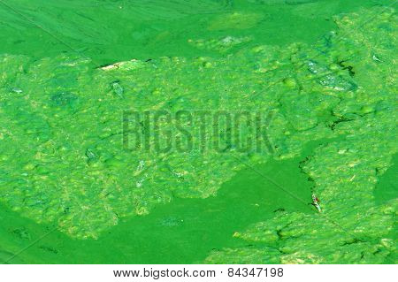 Polluted Water, Green Algae
