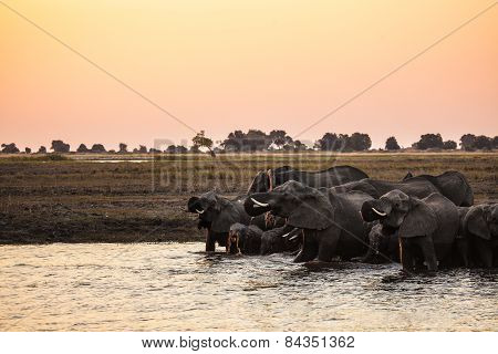 Elephants coming in to drink on the Chobe River