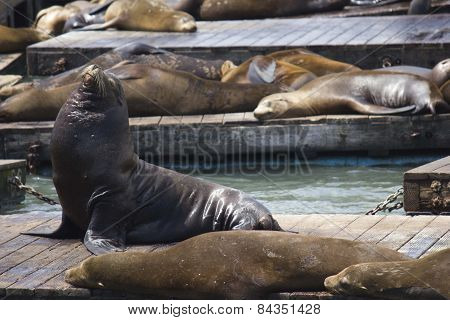 Sea Lion On Pier 39 In San Francisco