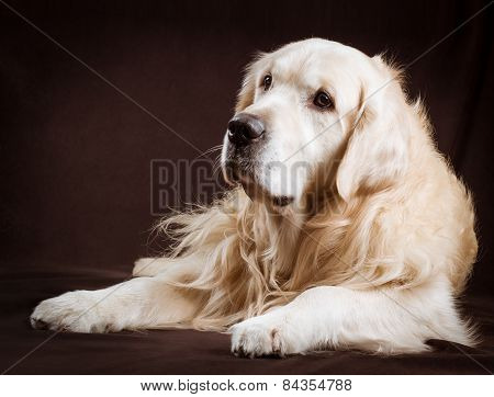 purebred golden retriever dog on brown background