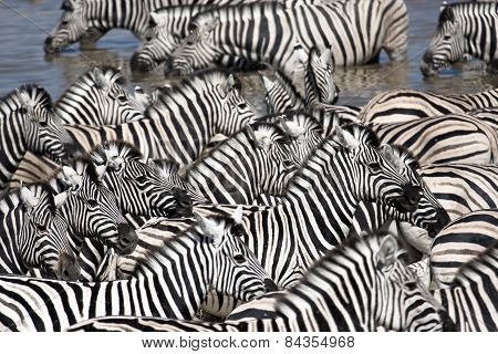 Zebras congregate around a water hole