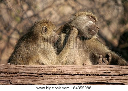 Two baboons groom in the afternoon sun