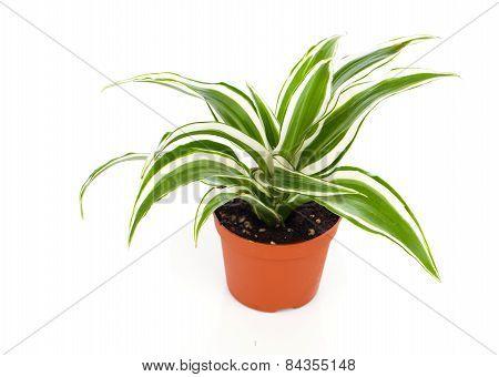 Dracaena Fragrans (cornstalk Dracaena)