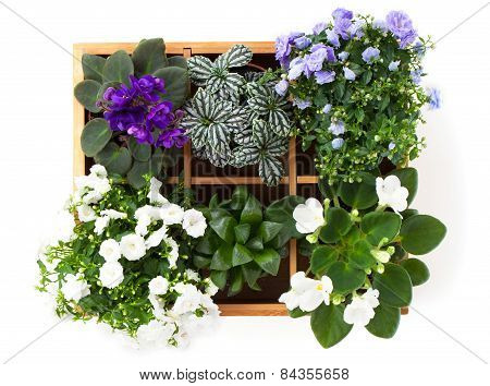Flowers Top View (saintpaulia, Campanula Terry, Fittonia, Adromischus) In A Wooden Box