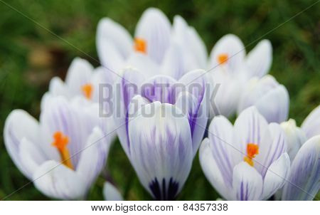 Colourful Spring Crocus.