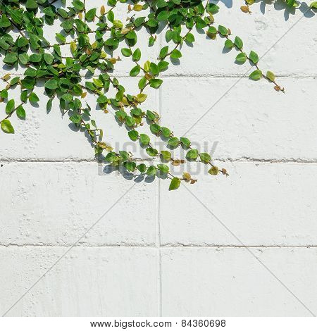 Ivy Leaves The Island On A Brick Wall White Background.
