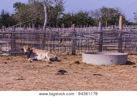 Thai Cows In Farm , animal and pet