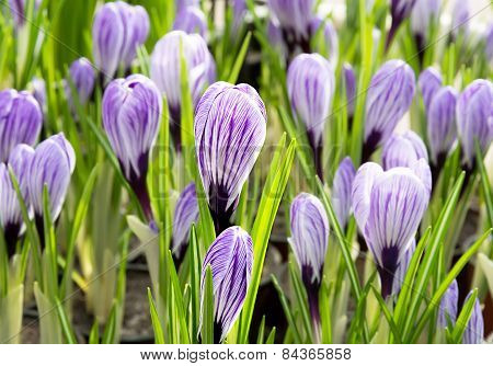 Purple Crocus.