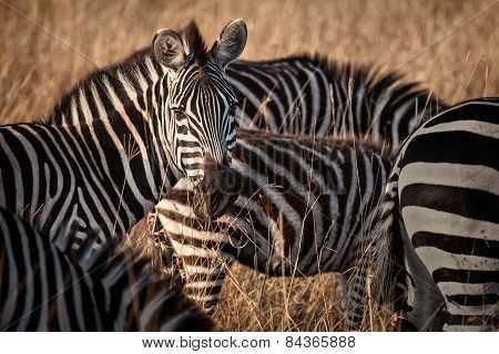 Zebra's head keeping watch in Etosha National Park, Namibia.