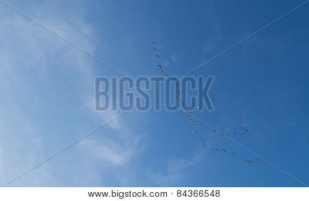 Flock of geese flying in a blue sky in winter