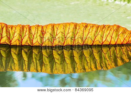 Big Leaves Of Victoria Waterlily Float On Water In The Pool