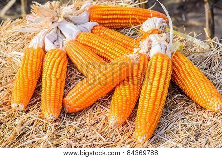 Dried Corn On Straw