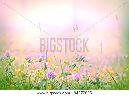 Flowering clover - red clover
