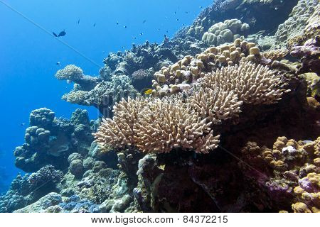 Coral Reef  In Tropical Sea - Underwater