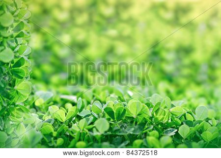 Meadow clover in early spring