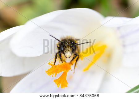 Macro Of A Bee On A White Crocus