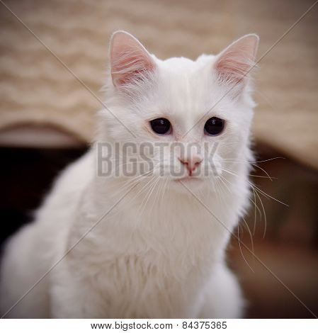 Portrait Of A White Fluffy Cat.