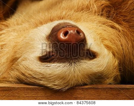 A two toed sloth takes a nap