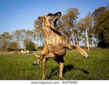Great dane looking aghast on hind legs