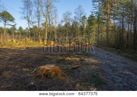 Timber in a pine forest in winter