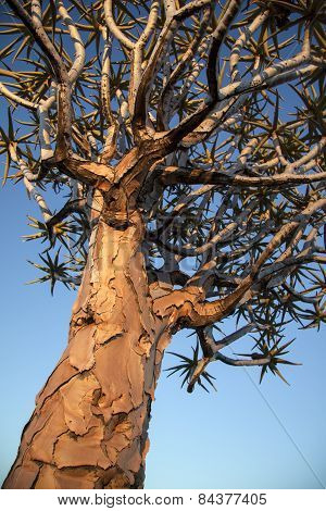 A close up of a quiver tree or Kokerboom in Namibia.