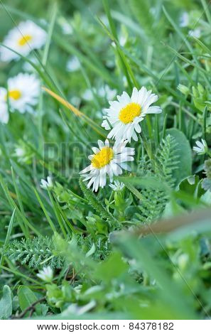 Spring daisy - daisy flower