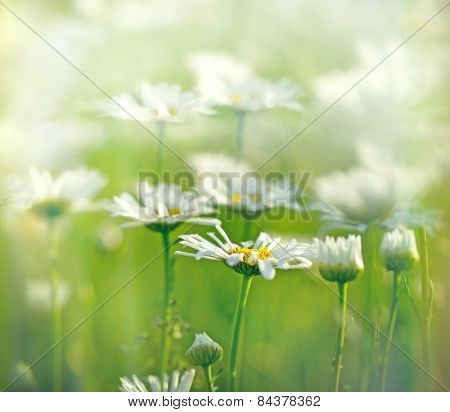 Meadow of daisy bathed in sunlight