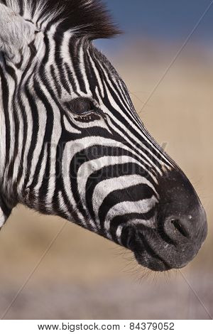 Close up of a Zebra's face in the Etosha National Park, Namibia