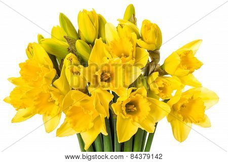 Fresh Spring Narcissus Flowers Isolated On White