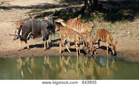 Nyala Ram and Ewes
