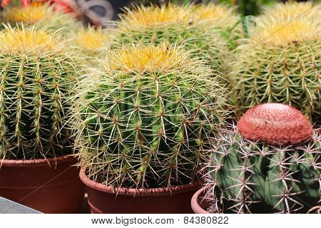 Cactus in pot.