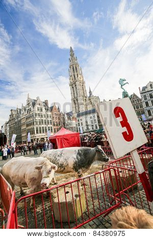 Livestock In Front Of The Cathedral Of Antwerp, Belgium