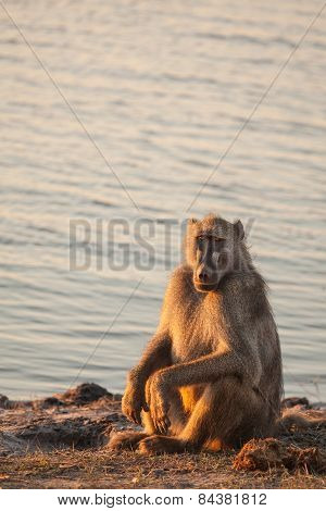 A baboon sits in the grass in harsh light