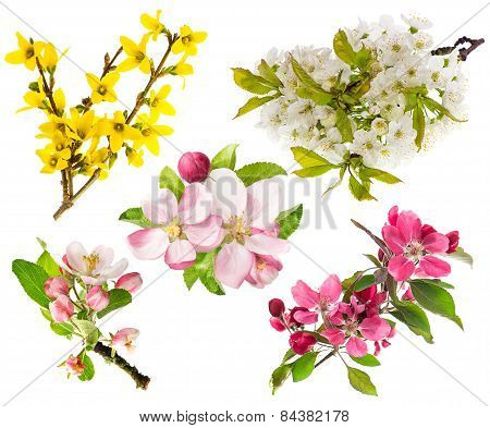 Blossoms Of Apple Tree, Cherry Twig, Forsythia. Spring Flowers
