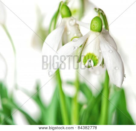 Snowdrops With Waterdrops. Spring Flowers