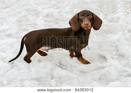 Dachshund in snow.