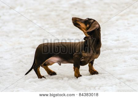 Dachshund turns head back.