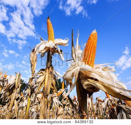 Dried corn in a corn field against blue sky.