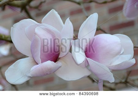 Nice Couple Of Magnolia Flowers