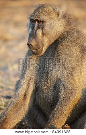 An ugly baboon sits in the afternoon sun
