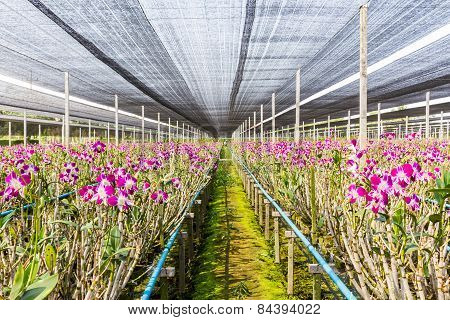 Orchid Flowers Blooming In Orchid Farm, Agriculture.